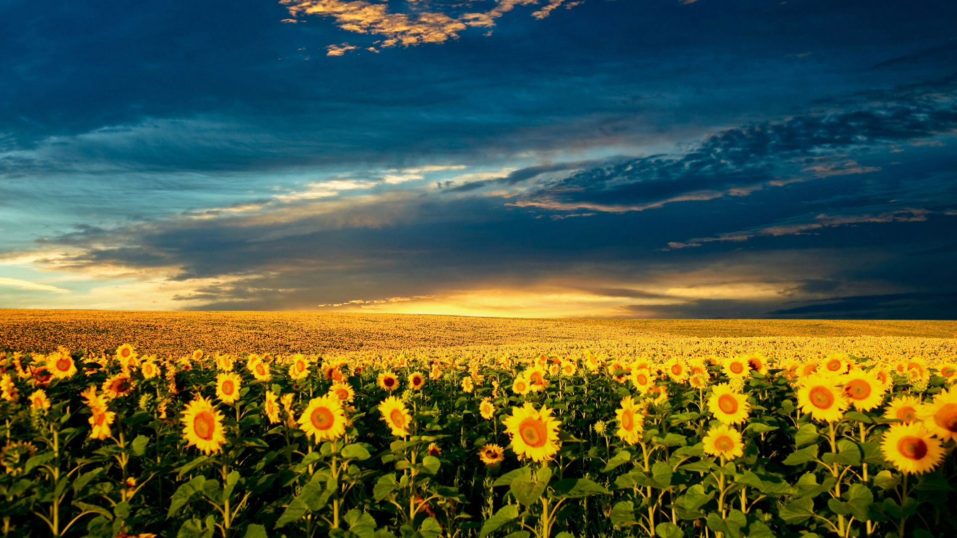 sunflower-field